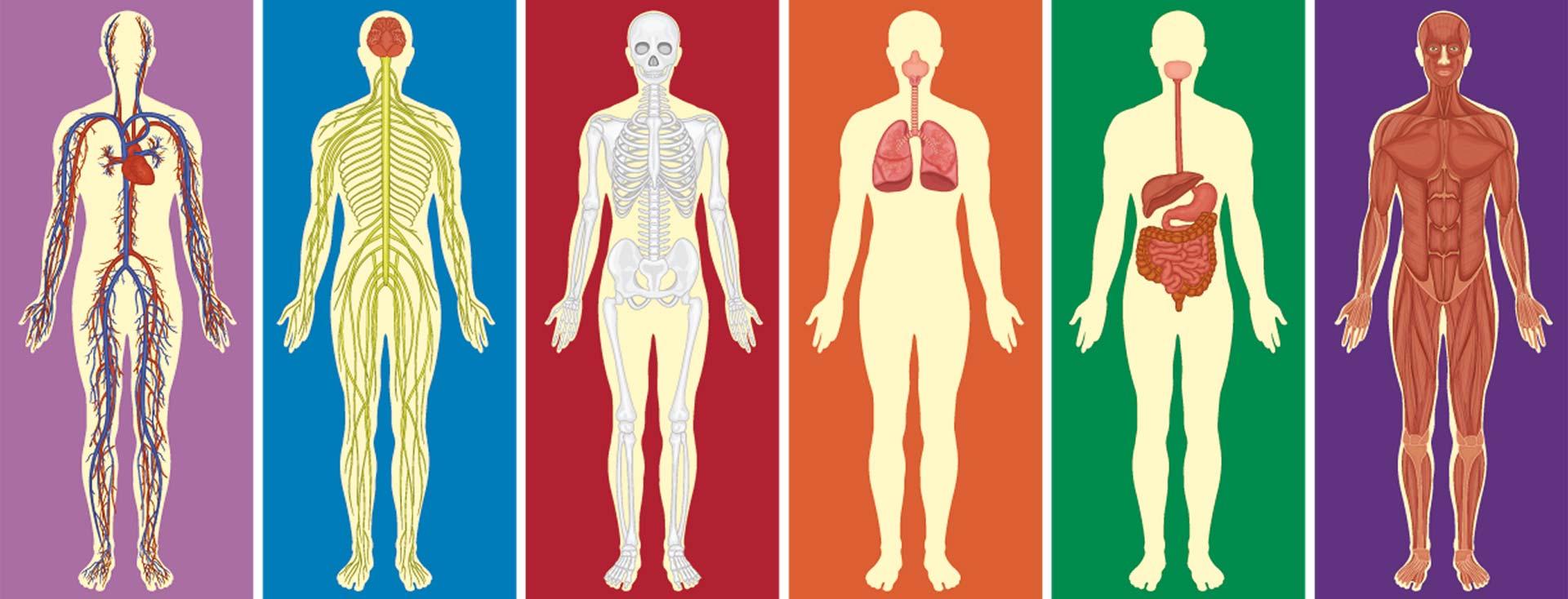 Menschliche Anatomie – so funktioniert unser Körper - Echo-H2
